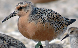 A red knot.  U.S. Fish & Wildlife Service photo